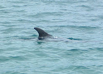 Dorsal fin of dolphin