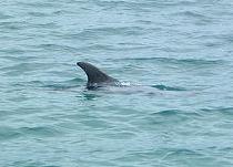 Dorsal fin of dolphin