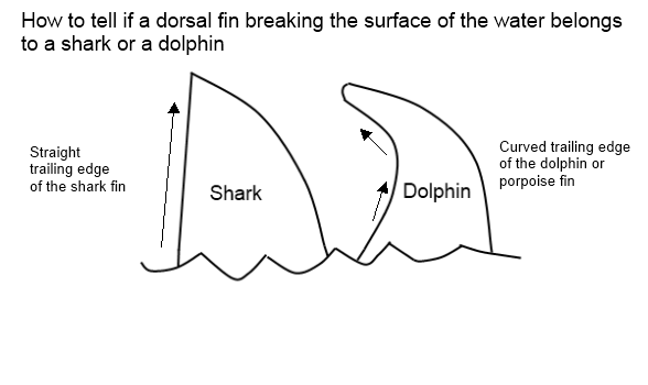 shark or dolphin
